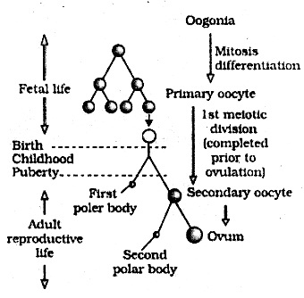 2nd PUC Biology Question Bank Chapter 3 Human Reproduction 6